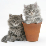 Two Maine Coon Kittens Playing in a Terracotta Flowerpot Photographic Print by Mark Taylor
