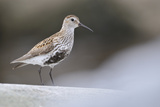 Dunlin (Calidris Alpina) Perching on a Rock, Outer Hebrides, Scotland, UK, June Photographic Print by Fergus Gill