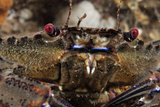 Velvet Swimming Crab (Necora Puber - Liocarcinus Puber), St Abbs, Berwickshire, Scotland, UK Photographic Print by Linda Pitkin