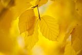 European Beech Tree {Fagus Sylvatica} Yellow Leaves in Autumn, Sence Valley, Leicestershire, UK Photographic Print by Ross Hoddinott
