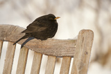 Male Blackbird (Turdus Merula) Perched in Winter, with Feathers Ruffled, Scotland, UK Photographie par Mark Hamblin