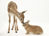 Fallow Deer (Dama Dama) Fawn and Sandy Netherland-Cross Rabbit Papier Photo par Mark Taylor
