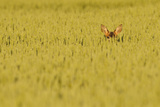Roe Deer (Capreolus Capreolus) Doe Peering from Wheat Field. Perthshire, Scotland, June Photographic Print by Fergus Gill