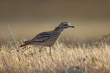 Stone Curlew (Burhinus Oedicnemus) Bagerova Steppe, Kerch Peninsula, Crimea, Ukraine, July 2009 Photographic Print by  Lesniewski
