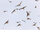 Large Group of Red Kites (Milvus Milvus) in Flight, Powys, Rhayader, Wales, UK Photographic Print by  Muñoz