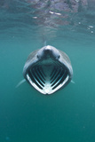 Basking Shark (Cetorhinus Maximus) with Mouth Open Feeding on Plankton, Hebrides, Scotland, UK Photographic Print by Alex Mustard