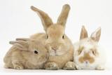 Sandy Rabbit and Two Babies Photographie par Mark Taylor