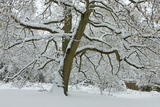 English Oak Tree (Quercus Robur) with Heavy Early Snow, Black Heath, Surrey, UK Photographic Print by Mark Taylor
