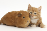 Ginger Kitten, 7 Weeks, and Red Guinea Pig Lying Next to Each Other Photographic Print by Mark Taylor