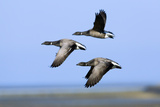 Brent Geese (Branta Bernicla) Flying, Hallig Hooge, Germany, April 2009 Photographic Print by  Novák