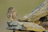 Little Owl (Athene Noctua) on Rock, La Serena, Extremadura, Spain, April 2009 Fotoprint van  Widstrand