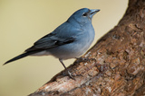 Teide's Blue Chaffinch (Fringilla Teydea) on Tree, Teide Np, Tenerife, Canary Islands, Spain, May Photographic Print by  Relanzón