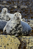 Grey Seal (Halichoerus Grypus) Hauled Out on Rocks, in Mid-Moult. Farne Islands, Northumberland Photographic Print by David Tipling