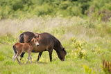 Exmoor Pony and Foal {Equus Caballus} at Westhay Nature Reserve, Somerset Levels, Somerset, UK Photographic Print by Ross Hoddinott