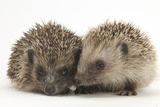 Two Young Hedgehogs (Erinaceus Europaeus) Sitting Together Photographic Print by Mark Taylor