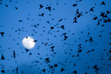 Large Flock of Bramblings (Fringilla Montifringilla) in Flight at Dusk, Infront of Moon, Austria Photographic Print by  Novák