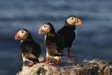 Atlantic Puffins (Fratercula Arctica) Langanes Peninsula, Iceland, Mau 2008 Reproduction photographique par O. Haarberg