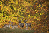 Fallow Deer (Dama Dama) Bucks and Does in Front of Beech Trees in Full Autumn Colour, Denmark Photographic Print by  Möllers