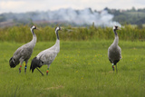 Minnie', 'Squidgy' and 'Vince', Three Eurasian Cranes (Grus Grus) Released onto Somerset Levels, UK Photographic Print by Nick Upton