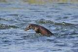 Juvenile European River Otter (Lutra Lutra) Fishing by Porpoising, River Tweed, Scotland, March Photographic Print by  Campbell