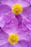(Cistus Creticus) Close-Up of Two Flowers, Amigdalokefali, Crete, Greece, April 2009 Photographic Print by  Lilja