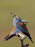 European Roller (Coracias Garrulus) Pair with Courtship Gift of Insect Prey, Pusztaszer, Hungary Photographic Print by  Varesvuo