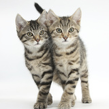 Tabby Kittens, Stanley and Fosset, 12 Weeks, Walking Together in Unison Photographic Print by Mark Taylor