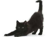 Fluffy Black Kitten, 9 Weeks, Stretching Photographic Print by Mark Taylor
