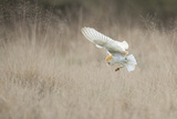 Barn Owl (Tyto Alba) Diving Towards Prey. Wales, UK, March. Sequence 2 of 2 Photographic Print by Andy Rouse