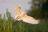 Spoonbill (Platalea Leucorodia) Adult in Flight, Netherlands, June 2009 Photographic Print by  Hamblin