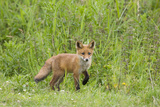 Red Fox (Vulpes Vulpes) Cub, Oostvaardersplassen, Netherlands, June 2009 Photographic Print by  Hamblin
