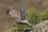 Little Owl (Athene Noctua) Taking Off, Bagerova Steppe, Kerch Peninsula, Crimea, Ukraine, July 2009 Photographic Print by Lesniewski