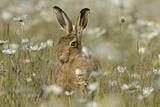 European Hare (Lepus Europaeus) in Field of Ox-Eye Daisiesm Norfolk, England, UK, June Photographic Print by David Tipling