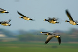 Barnacle Geese (Branta Leucopsis) in Flight, Westerhever, Germany, April 2009 Photographic Print by  Novák