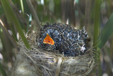 Chick of European Cuckoo (Cuculus Canorus) in Reed Warbler's (Acrocephalus Scirpaceus) Nest, UK Photographie par David Tipling