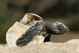 Loggerhead Turtle (Caretta Caretta) Hatching, Dalyan Delta, Turkey, July Photographic Print by  Zankl