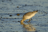 Bar-Tailed Godwit Foraging for Tidal-Flat Worm. Norfolk, January. Sequence 1 of 2 Photographic Print by David Tipling