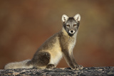 Arctic Fox (Vulpes Lagopus) Sitting, Disko Bay, Greenland, August 2009 Photographic Print by  Jensen