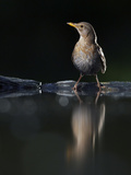 Blackbird (Turdus Merula) Female at Water, Pusztaszer, Hungary, May 2008 Photographic Print by  Varesvuo