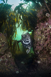 Grey Seal (Halichoerus Grypus) in a Gully Beneath Kelp (Laminaria Digitata), Farne Islands, UK Photographic Print by Alex Mustard