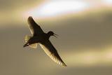 Redshank (Tringa Totanus) Calling in Flight, Outer Hebrides, Scotland, UK, June Reproduction photographique par Peter Cairns