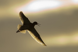 Redshank (Tringa Totanus) Calling in Flight, Outer Hebrides, Scotland, UK, June Photographic Print by Peter Cairns