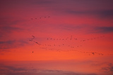 Pink-Footed Geese (Anser Brachyrynchus) Flocks in Flight Leaving Overnight Roost at Dawn, UK Photographic Print by David Tipling