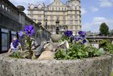 Mallard Duck (Anas Platyrhynchos) Female Nesting in Flowerpot with Pansies, Parade Gardens, Bath,Uk Photographic Print by Nick Upton