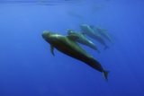 Four Short Finned Pilot Whales (Globicephala Macrorhynchus) in a Line, Pico, Azores, Portugal, June Photographic Print by  Lundgren