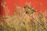 Twite (Carduelis Flavirostris) Perched, Saqqaq, Greenland, August 2009 Photographic Print by  Jensen