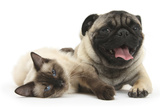 Fawn Pug and Birman-Cross Cat Photographic Print by Mark Taylor