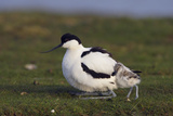 Avocet (Recurvirostra Avosetta) with Chick, Texel, Netherlands, May 2009 Photographie par Peltomäki