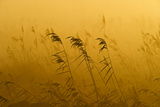 Phragmites Reeds (Phragmites Australis) at Dawn in Autumn Sun, Woodwalton Fen, Cambridgeshire, UK Photographic Print by David Tipling