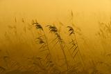 Phragmites Reeds (Phragmites Australis) at Dawn in Autumn Sun, Woodwalton Fen, Cambridgeshire, UK Photographic Print by David Tipling